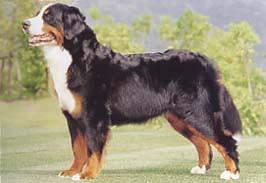 バーニーズ・マウンテン・ドッグ - BERNESE MOUNTAIN DOG