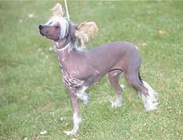 チャイニーズ・クレステッド・ドッグ - CHINESE CRESTED DOG