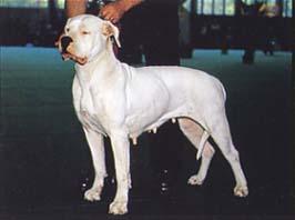 ドゴ・アルヘンティーノ - DOGO ARGENTINO