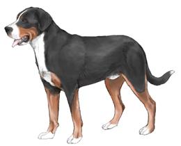 グレート・スイス・マウンテン・ドッグ - GREAT SWISS MOUNTAIN DOG