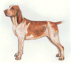 イタリアン・ポインティング・ドッグ -  ITALIAN POINTING DOG