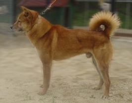 コリア・ジンドー・ドッグ - KOREA JINDO DOG