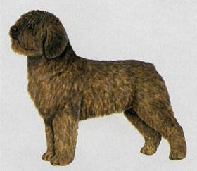 スパニッシュ・ウォーター・ドッグ - SPANISH WATER DOG