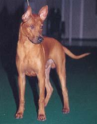タイ・リッジバック・ドッグ - THAI RIDGEBACK DOG