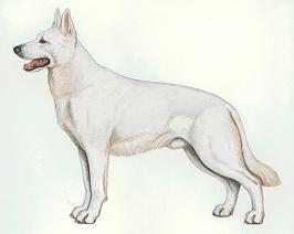 ホワイト・スイス・シェパード・ドッグ - WHITE SWISS SHEPHERD DOG