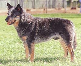 オーストラリアン・キャトル・ドッグ - AUSTRALIAN CATTLE DOG