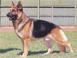 ジャーマン・シェパード・ドッグ - GERMAN SHEPHERD DOG