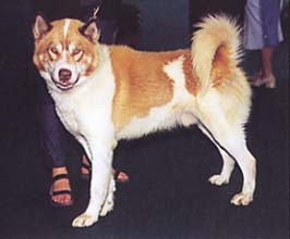 グリーンランド・ドッグ - GREENLAND DOG