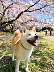 「日本の春って、いいねぇ」  石井 由香