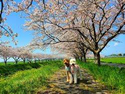 「桜街道」  尾形 伸枝