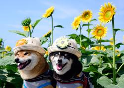 「向日葵よりも輝いて」  福田 康幸